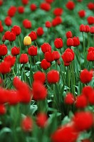 Laconner tulip field, yellow tulip in amongst red ones, British Columbia, Canada