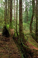 Cedar tree as nurse log, British Columbia, Canada