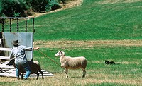 Sheepdog trials, border collie herds sheep, British Columbia, Canada