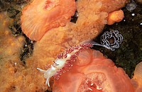 Red-gilled aeolid nudibranch laying eggs, Plumper Rock Telegraph Cove, Vancouver Island, British Columbia, Canada