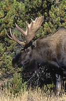 Moose Alces alces are found in forested wetlands in cooler regions of British Columbia, Canada