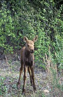 Young Moose Alces alces are found in forested wetlands in cooler regions of British Columbia, Canada