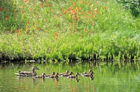 Mallard hen and ducklings, British Columbia, Canada