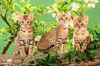 three Bengal kittens in front of elderberry blossoms