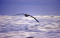 New Zealand, Black browed Albatross in flight over sea