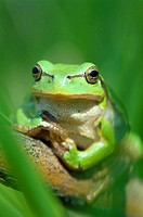 Common or eurpoean treefrog (Hyla arborea) sitting in the grass of a swamp. River Elbe, Lower Saxony. Germany