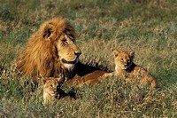 Lions and Cubs, Serengeti National Park, Tanzania, Africa