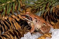Wood Frog Rana sylvatica on Pine Cones, Nova Scotia
