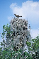 Osprey Perched on Huge Nest