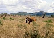 Elephant Walking, Kenya Safari