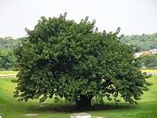 Tree, São Vicente, São Paulo, Brazil