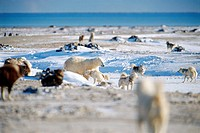 Polar Bear and Husky Dogs, Churchill, Manitoba