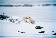 Polar Bear Feeding Cubs, Churchill, Manitoba
