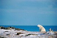 Polar Bear and Hudson Bay, Churchill, Manitoba