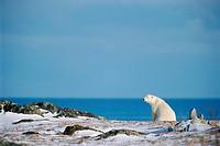 Polar Bear and Hudson Bay, Churchill, Manitoba