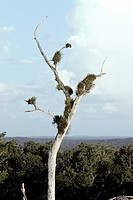 Dead Tree With Birds´ Nests