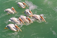 White Pelicans on Fairford River, Fairford, Manitoba