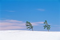 White Pine Trees in Winter, Favres, Quebec