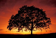 Big Tree Silhouetted Against Red Sky