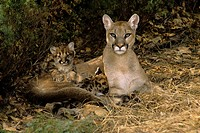 Cougar Mother with Kittens