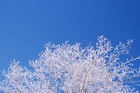 Hoar Frost on Tree, Orangeville, Ontario