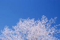 Hoar Frost on Tree, Orangeville, Ontario