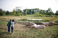 Pigs and boys in the farm