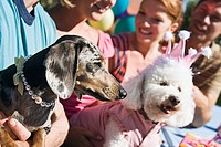 Miniature Dachshund and poodle with people