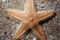Sea Star (Astropecten irregularis). Ria of Vigo, Pontevedra province, Galicia, Spain