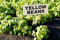 Yellow beans in organic garden, Manitoba, Canada