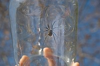 Black widow spider in jar, Okanagan Centre, BC, Canada