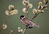 Reed bunting (Emberiza schoeniclus), male. Sussex, England, UK