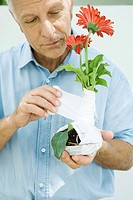 Man wrapping gauze around gerbera daisy plant, close-up