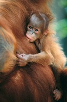 Bornean Orangutan (Pongo pygmaeus), mother and baby. Gunung Leuser National Park, Indonesia