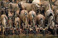 Blue Wildebeest (Connochaetes taurinus). Masai Mara Natural Reserve, Kenya