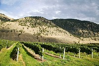 A vineyard near Osoyoos, Okanagan valley , British Columbia, Canada