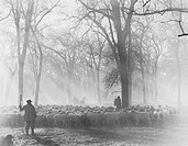 Leading the Flock - sheepherders at work All persons depicted are not longer living and no estate exists Supplier warranties that there will be no mod...