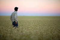 Farmer at sunset looking over field of canary seed, Saskatchewan, Canada
