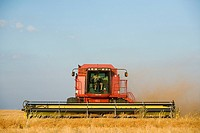 Straight combining lentils, Saskatchewan, Canada  High protein, drought-resistant lentils extract nitrogen from the air, thus reducing the need for fe...