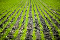 New growth in wheat field, Lumsden, Saskatchewan, Canada