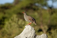 Francolin perching on a termite mound, Kalahari Desert, Botswana
