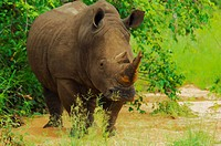 White rhinoceros Ceratotherium simum in a forest, Motswari Game Reserve, South Africa
