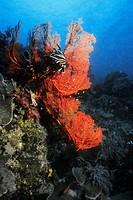 Black Feather Star Himerometra Bartschi and Gorgonian Sea Fan Subergorgia Mollis underwater, Palau