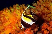 Moorish Idol Zancluse cornutus swimming underwater, North Sulawesi, Sulawesi, Indonesia