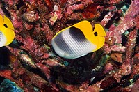 Two Saddleback butterflyfish Chaetodon ephippium swimming underwater, Papua New Guinea