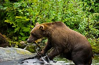 Grizzly bear Ursus arctos horribilis on the rock