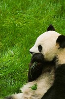 Close-up of a panda Alluropoda melanoleuca eating grass