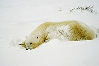 Close-up of a Polar bear Ursus Maritimus sleeping
