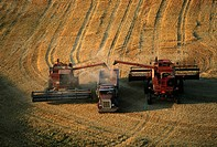 Harvesting golden wheat, Washington state