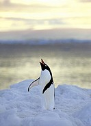 Penguin crying out